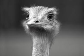 ostrich-1467099230BL4.jpg